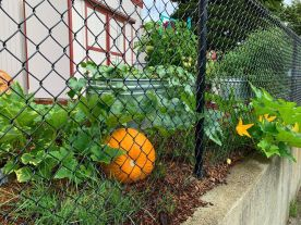 Harvest time in the St. Elizabeth food garden